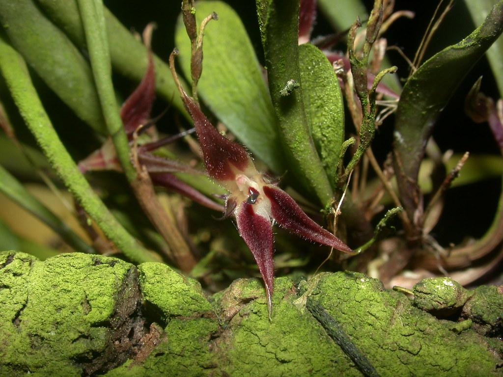Miniatur-Orchideen Teil 4 - Seite 6 41323948691_10a3b99829_b