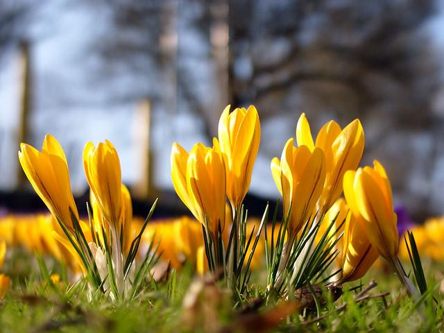 Yellow crocus flowers a whole meadow is blanketed by yello flickr yellow crocus flowers by donaldtownsend yellow crocus flowers by donaldtownsend mightylinksfo