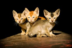 triplet cats in a sun ray | by phitar