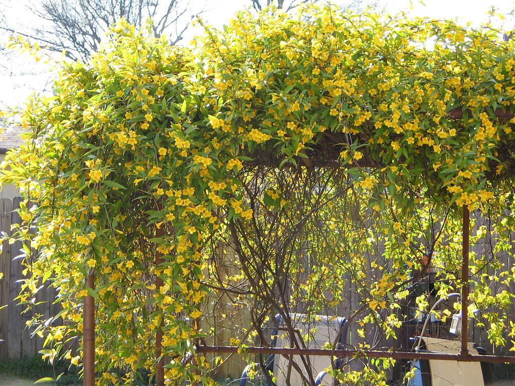 carolina jasmine  our carolina jasmine is in full bloom and…  flickr, Beautiful flower