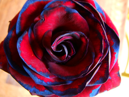 Multicolored rose when it wasn 39 t in bright sunlight it for Dual color roses