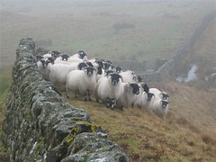 Sheep, Hadrian's Wall | by bakpacker