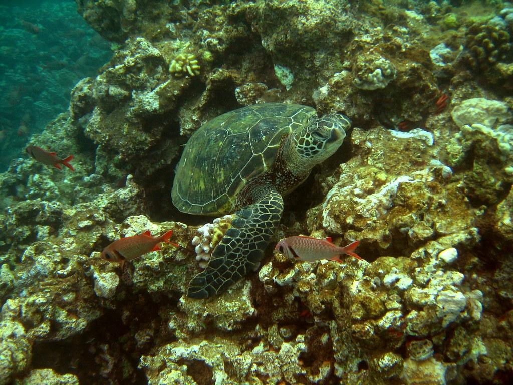 Turtle lying on the reef big eye squirrelfish or u 39 u in for Big eye squirrel fish