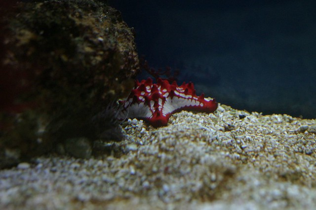 Red Knobbed Starfish Rjp Flickr
