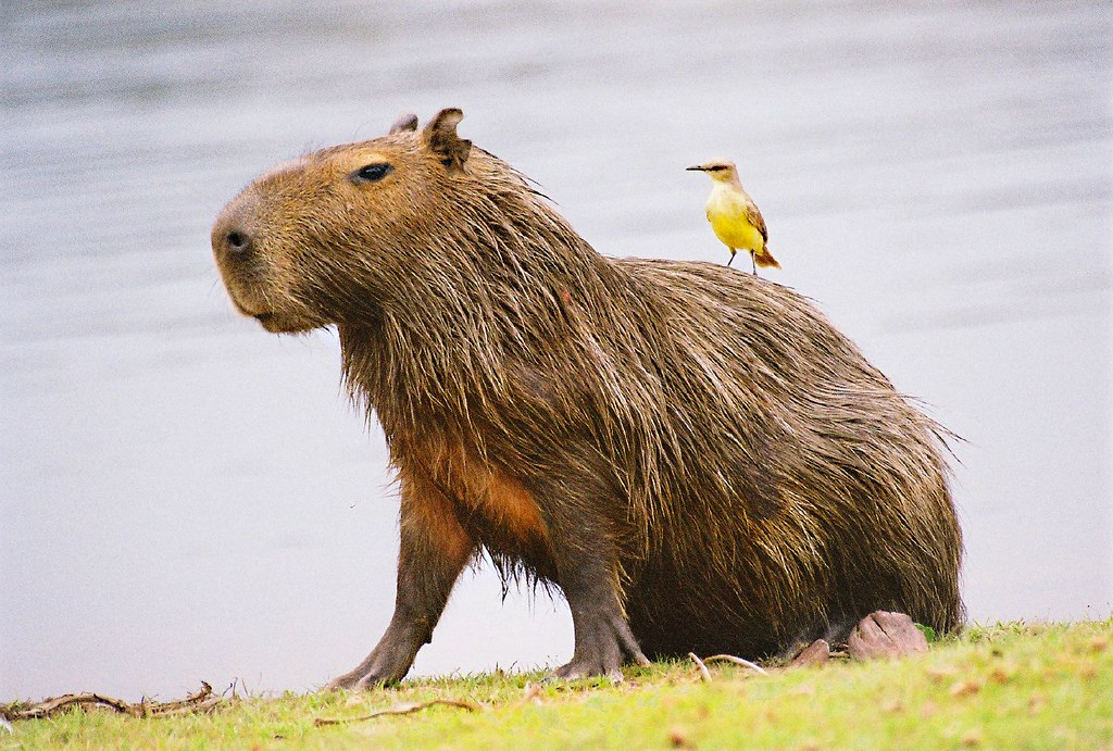 Capibara | Now here's something else than your average ...