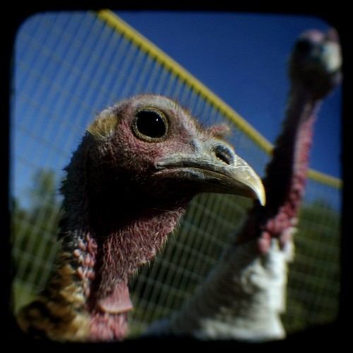 turkeys | by ReyGuy
