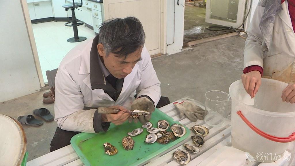 946-1-45水試所海水繁養殖研究中心,幾年前開始研發人工附苗技術。