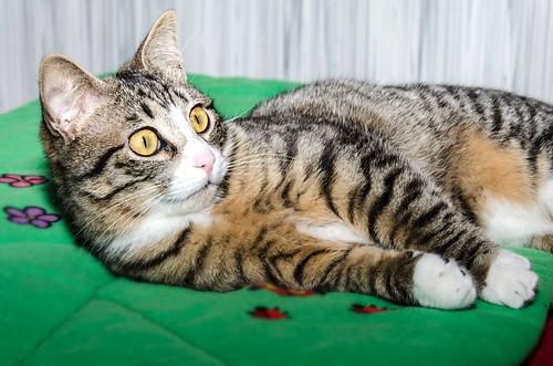 Efrén, gatito blanquipardo súper dulce positivo a inmuno nacido en Septiembre´17, en ADOPCIÓN ESPECIAL. Valencia. 41017356771_a90907056e