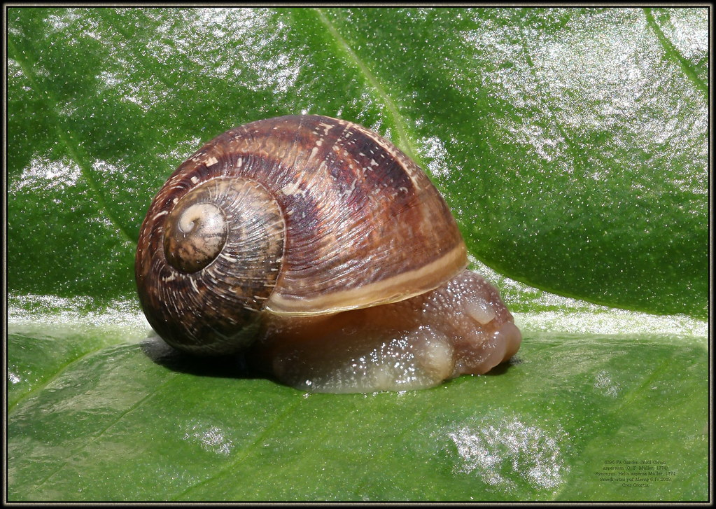 6396 Fa Garden Snail Cornu aspersum (O. F. Müller, 1774) S…   Flickr
