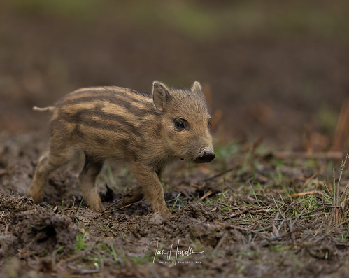 Wild boar piglet | by Ian howells wildlife photography