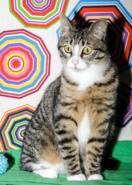 Efrén, gatito blanquipardo súper dulce positivo a inmuno nacido en Septiembre´17, en ADOPCIÓN ESPECIAL. Valencia. 27146179038_c17e114a3f_z
