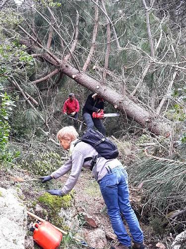 Début de tronçonnage d'un pin tombé dans la montée de Piscia Cava