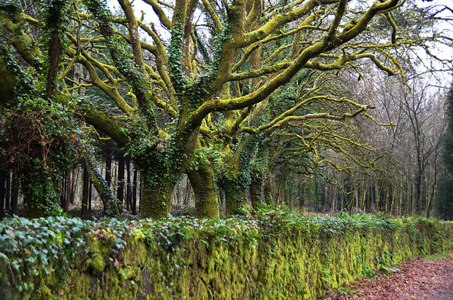 Trees on the final stretch, Camino de Santiago, Galicia