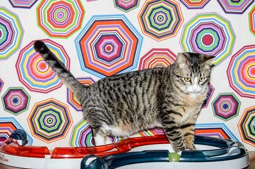 Efrén, gatito blanquipardo súper dulce positivo a inmuno nacido en Septiembre´17, en ADOPCIÓN ESPECIAL. Valencia. 40308207164_c35ebc1257