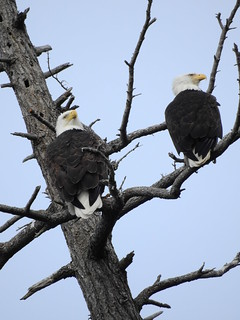 april 3 2018 16:02 - Eagles in The Babysitting Tree | by boonibarb