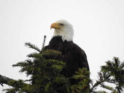 april 12 2018 16:05 - Eagle in The His & Hers Tree | by boonibarb