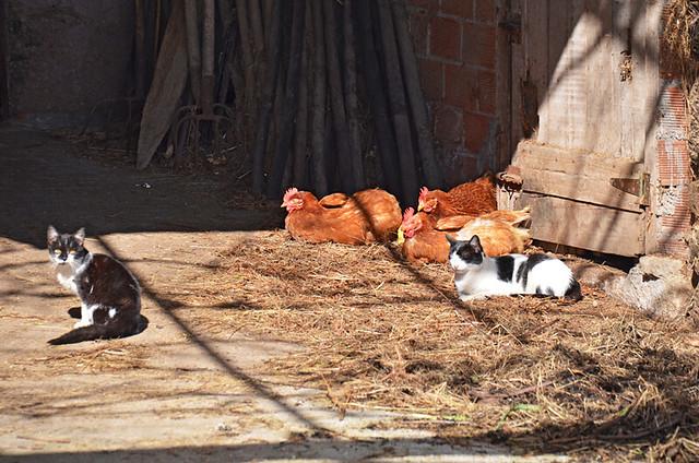 Chilled animals, Camino de Santiago, Galicia