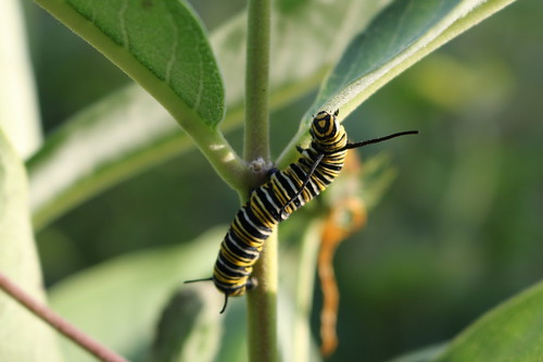 monarch caterpillar | by crystalcolby