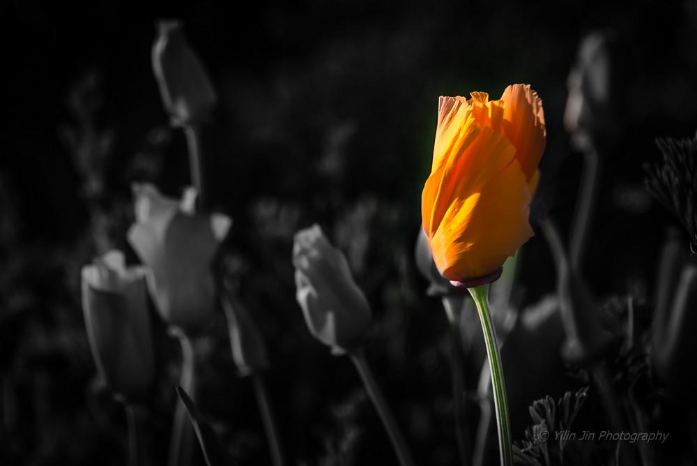 Golden poppy california state flower yl jin flickr golden poppy california state flower by yl jin mightylinksfo