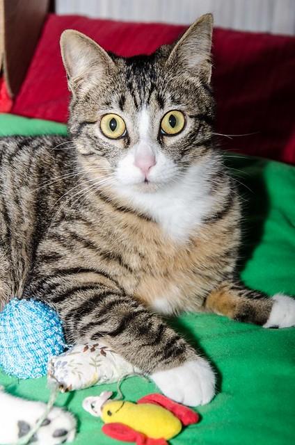 Efrén, gatito blanquipardo súper dulce positivo a inmuno nacido en Septiembre´17, en ADOPCIÓN ESPECIAL. Valencia. 41017360351_29139d649c_z