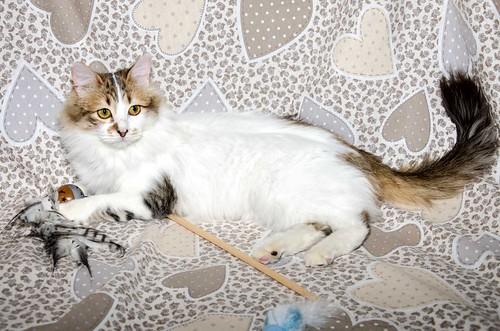 Marlène, gatita cruce Angora blanquiparda dulce y juguetona esterilizada nacida en Julio´17, en adopción. Valencia. ADOPTADA. 26146315237_da5a4a13f1
