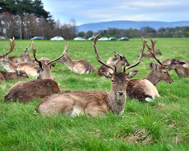 Ciervos de Dublín en el Parque Phoenix, de las cosas más curiosas que ver en Dublín
