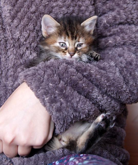 Suhaila, gatita parda con toques canela pelo largo guapísima, nacida en Febrero´18, en adopción. Valencia. ADOPTADA. 41016928301_c57fd74514_z