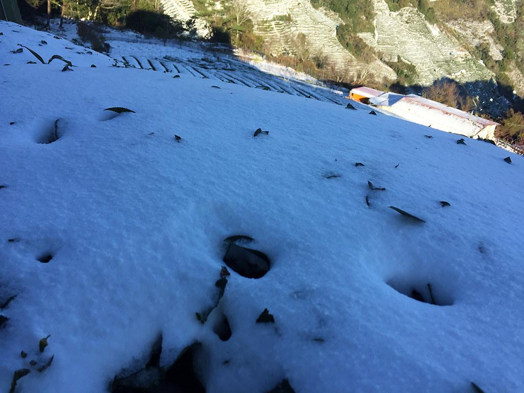 茶樹被大雪覆蓋