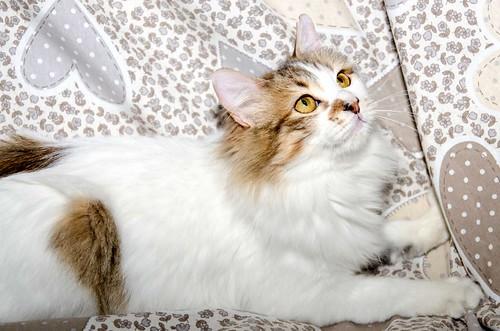 Marlène, gatita cruce Angora blanquiparda dulce y juguetona esterilizada nacida en Julio´17, en adopción. Valencia. ADOPTADA. 40123748135_761270fefb
