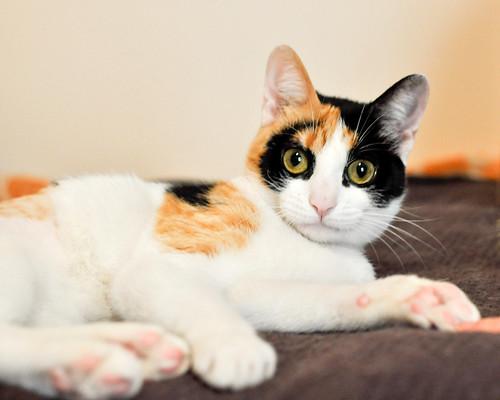 Ishtar, gatita tricolor Calicó súper cariñosa y juguetona esterilizada, nacida en Julio´17, en adopción. Valencia. 25941601477_40e1f257e2