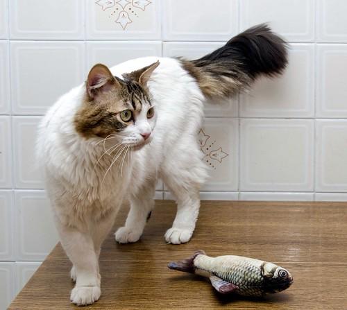 Aquiles, gato cruce Van Turco noble y buenísimo esterilizado, nacido en Enero´16, en adopción. Valencia. ADOPTADO. 41451532002_e45916754e