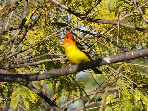 Western Tanager | by Mike's Birds