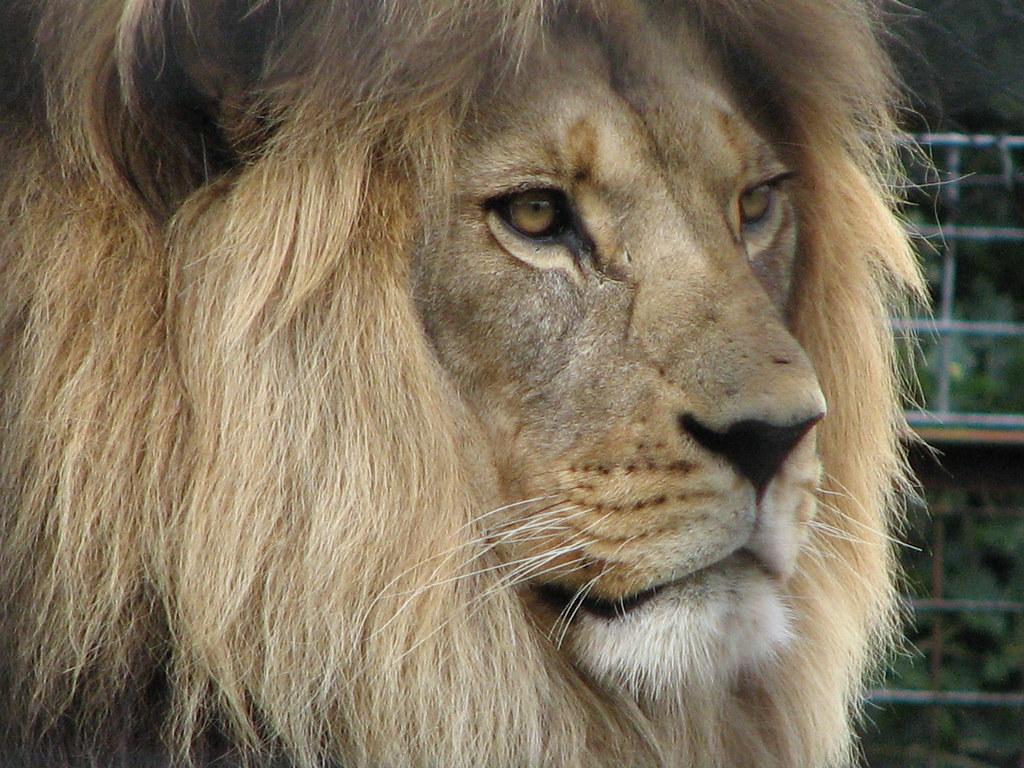 Image Result For Kion Roar Lion