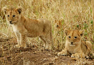 back from africa - lion cubs | by whatchamakallit