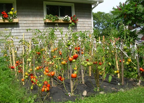 My Tomato Patch | by freddyfoyle