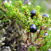 Northern Crowberry