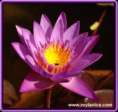 The National Flower Of Sri Lanka This Beautiful Flower