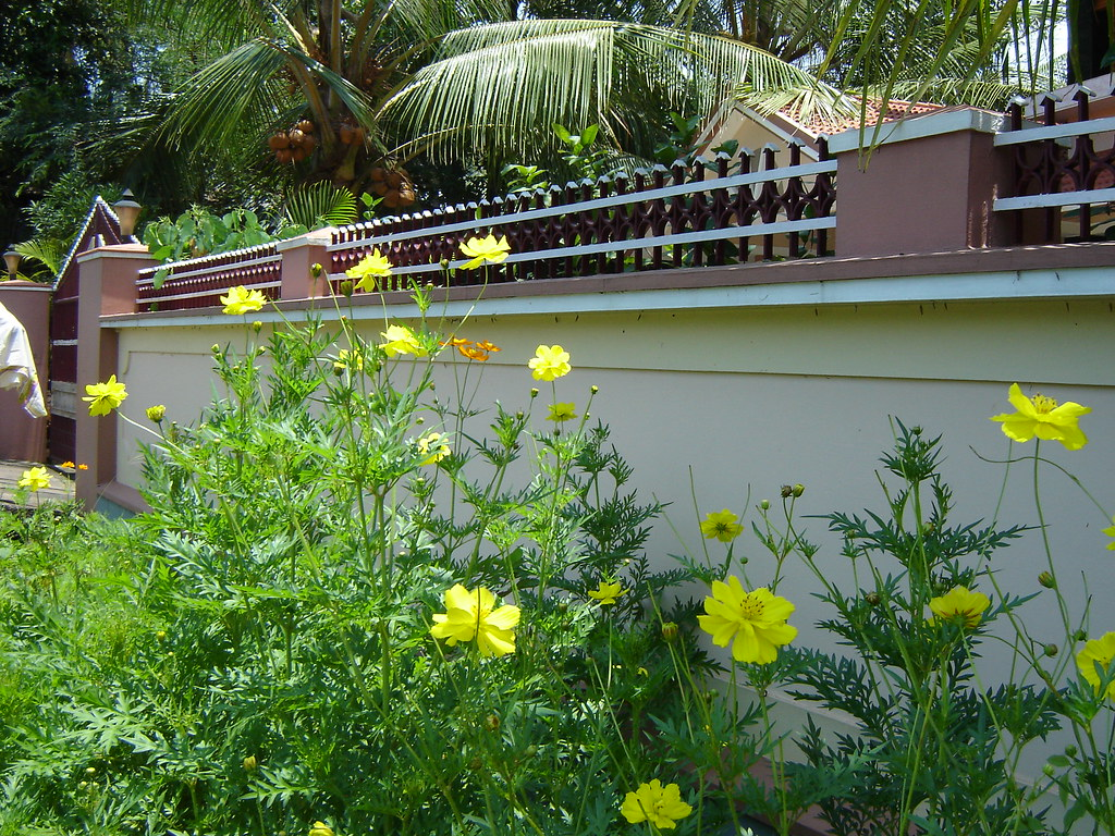 Yellow Flowers | ...in front of my house in Kerala, India ...