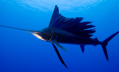 Sailfish | by Rob Hughes