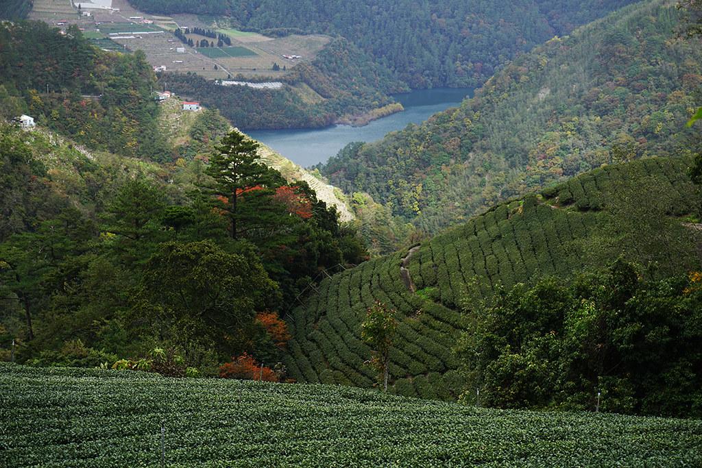 新佳陽茶園