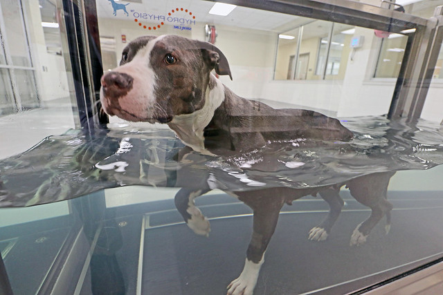 Jasmine, a 4-year old pit bull mixed breed, exercises in the Hydro Physio underwater treadmill
