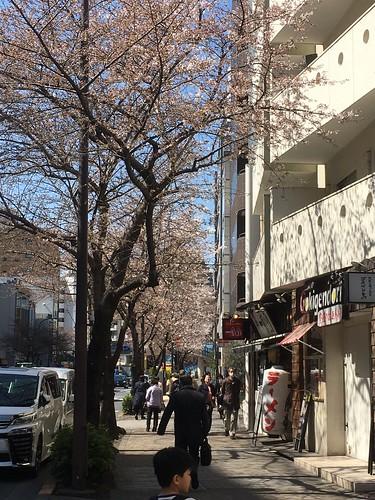 桜が咲いてます 2018.3.17
