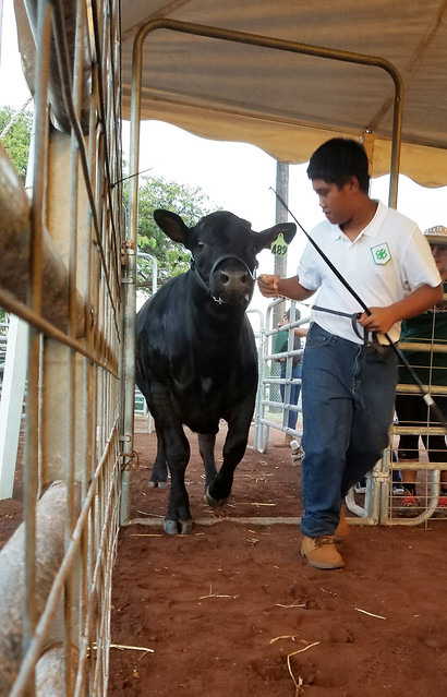 Arce's Lim-Flex steer