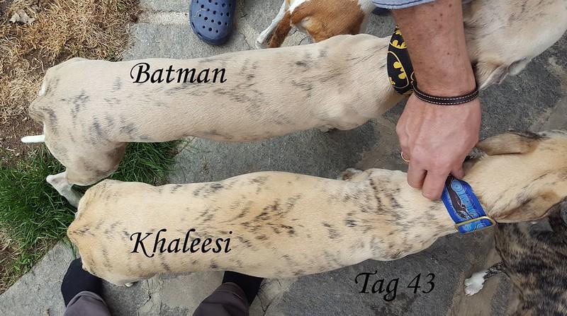 Vergleich mit Batman von oben, in Natura sieht Khaleesi noch breiter aus!