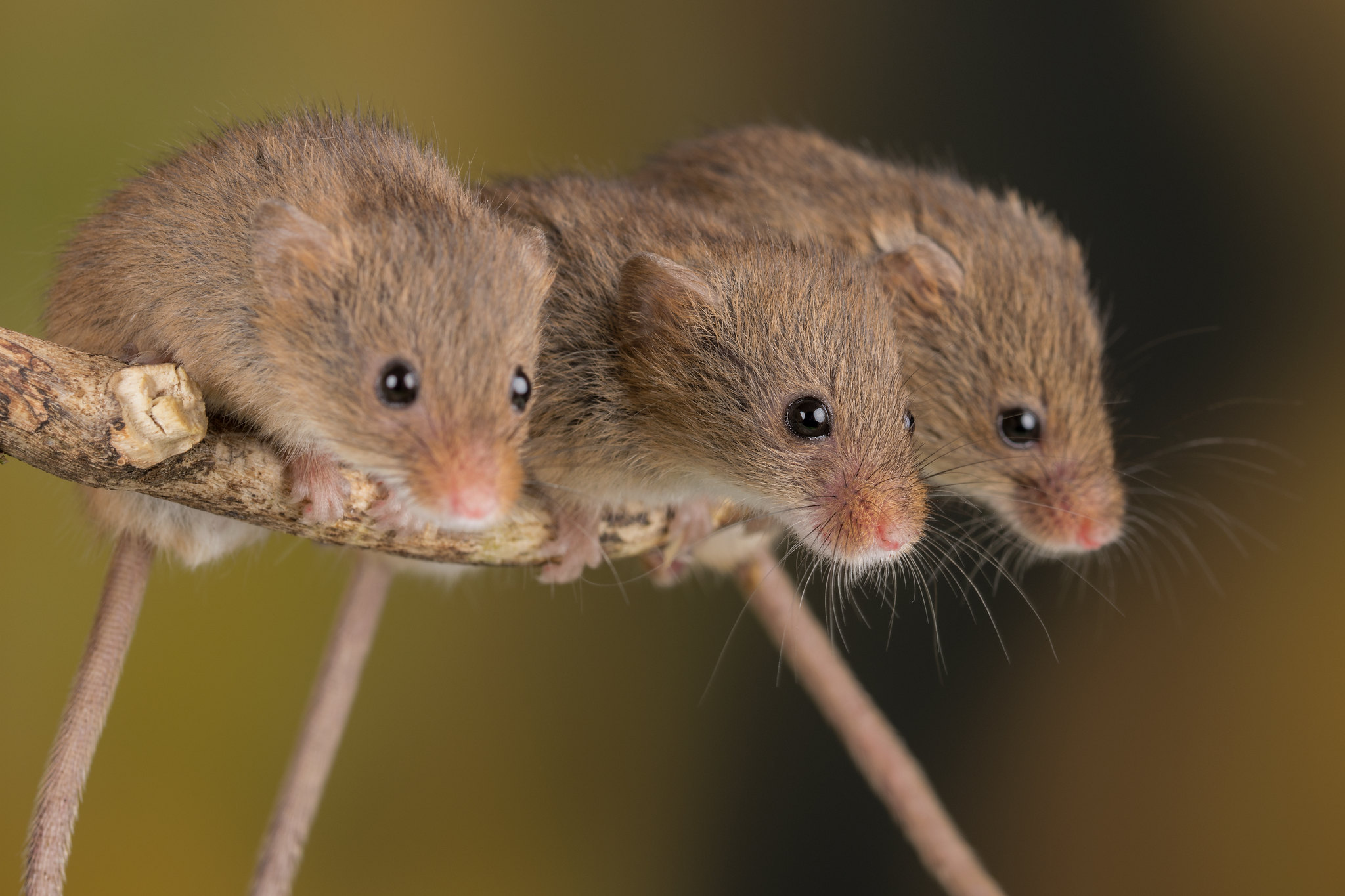 Athymic nude mice as an experimental model for cancer treatment