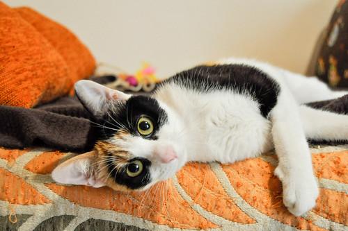 Ishtar, gatita tricolor Calicó súper cariñosa y juguetona esterilizada, nacida en Julio´17, en adopción. Valencia. 39917845115_7a93536670