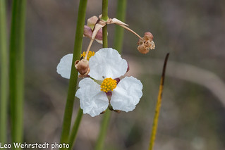 20180311wild-flower-florida_MG_6127 | by Leo Wehrstedt