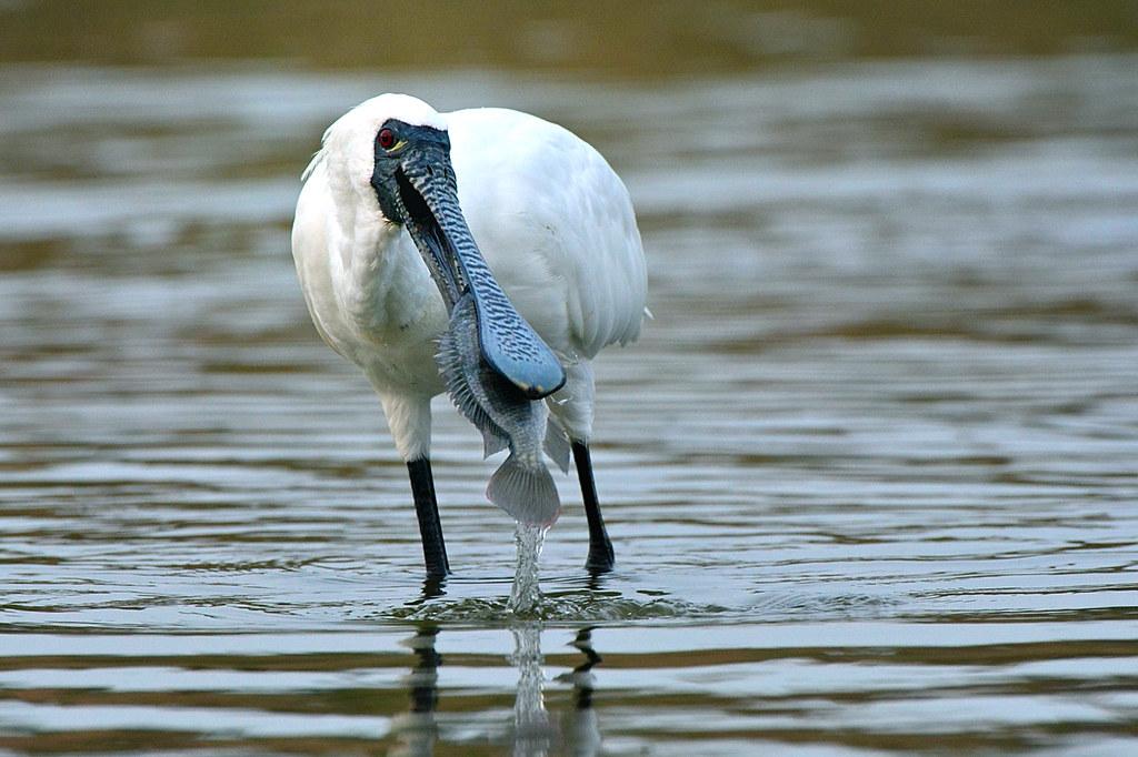 黑面琵鷺。郭東輝攝,中華鳥會提供。