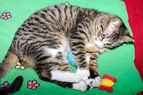 Efrén, gatito blanquipardo súper dulce positivo a inmuno nacido en Septiembre´17, en ADOPCIÓN ESPECIAL. Valencia. 27146177918_0be6735ed3
