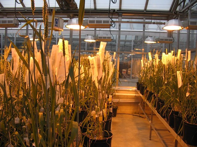 A greenhouse with wheat